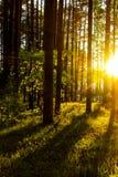 Skoglandskap, träd i solljus, stammarna av träden, solnedgång i skogen Royaltyfria Foton