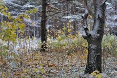 Skoglandskapet, närmare detaljerna av säsonger i naturen, vinter kommer att byta ut höst Arkivbilder