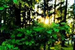 Skoglandskapet, sol`en s rays till och med gräsplanen, grön lövverk, skoglandskap, sol`en s rays till och med gräsplanen Arkivbild