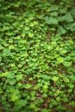 skogleaf för 4 växt av släkten Trifolium Arkivbild