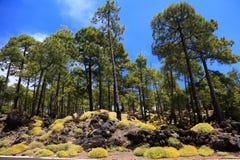 skogliggande tenerife arkivbilder