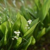 Skogliljar på en vit bakgrund Arkivfoton