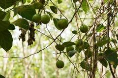 Skoglimefrukt i naturen Arkivfoto