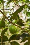 Skoglimefrukt i naturen Royaltyfri Fotografi