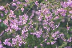 skogljung blommar och blomstrar i våren - tappningblick Royaltyfria Foton