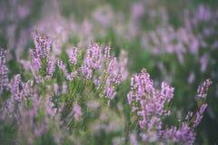 skogljung blommar och blomstrar i våren - tappningblick Arkivfoton