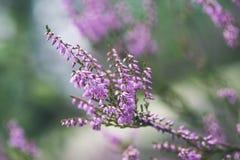 skogljung blommar och blomstrar i våren - tappningblick Fotografering för Bildbyråer