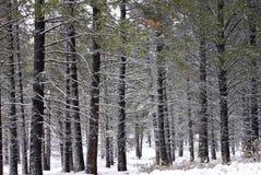 skoglodgepole sörjer snow Royaltyfri Bild