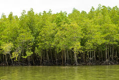 skogmangrove Royaltyfri Fotografi