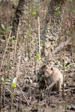 skogmangroveapa Royaltyfri Bild