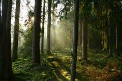 skogmorgon Arkivbilder