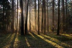 skogmorgon Royaltyfri Foto