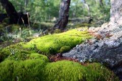Skogmossa Fotografering för Bildbyråer