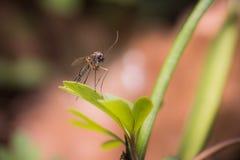 Skogmygga fotografering för bildbyråer