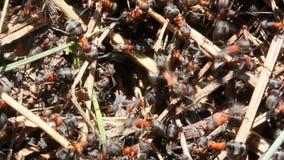 Skogmyror lager videofilmer
