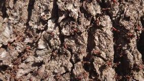 Skogmyror som kryper på stammen av ett gammalt träd lager videofilmer