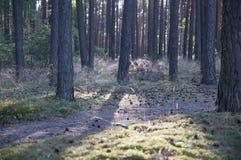 Skogpanorama med strålar av solljus Arkivfoto
