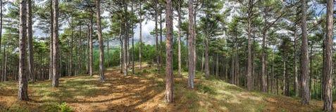 skogpanoramat sörjer Royaltyfria Bilder