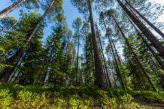 Skogplats i Finland Arkivfoto
