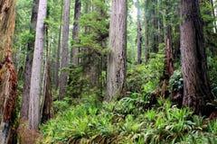 skogredwoodträd arkivbild