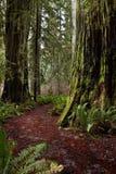 skogredwoodträd Arkivfoto