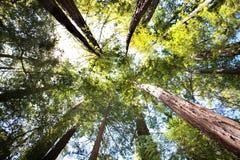 skogredwoodträd royaltyfria bilder
