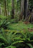 skogredwoodträd Royaltyfri Fotografi