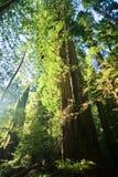 skogredwoodträdsolljus Royaltyfri Bild