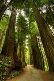 skogredwoodträdväg Arkivbilder