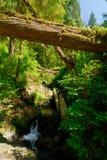 skogregn Royaltyfri Fotografi