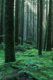 skogregn royaltyfri foto