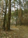 skogrussia för höst tidig trail Royaltyfri Fotografi
