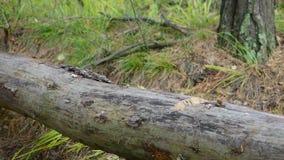 Skogsarbetare som klipper trädet med yxan i skogen stock video
