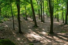 Skogsbevuxna skogträd som är bakbelysta vid solljus royaltyfri foto