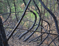 Skogsbrandförödelse Royaltyfria Bilder