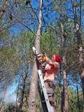 Skogshuggare som arbetar i skogen på en hög stege med en chainsa arkivfoton