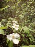 Skogskornell bedövar arkivbilder