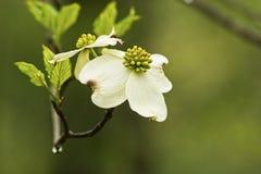 Skogskornell blommar efter ett regn. Arkivbilder