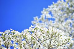 Skogskornell blommar - färger i naturbakgrund - trädet av ren extrakt Arkivfoto