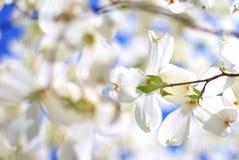 Skogskornell blommar - färger i naturbakgrund - ursprunglig vit Arkivfoto