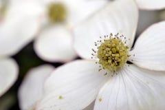 Skogskornell för östlig blomning. fotografering för bildbyråer