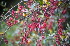 Skogskornellbär Georgia Kaukasus Arkivfoto