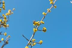 Skogskornellvår som pollineras av bin Fotografering för Bildbyråer