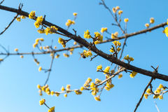 Skogskornellvår som pollineras av bin Arkivfoto