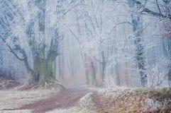 Skogslinga bland frostade bokträdträd på en dimmig vintermorgon Royaltyfri Bild