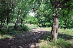 Skogslinga i skogen Royaltyfri Bild