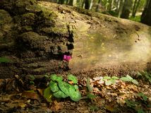 Skogsmarkcyklamen mot stupad journal Royaltyfria Foton