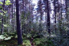 Skogsmarken går, Kincardine nolla-` Neil, kungliga Deeside, Skottland Royaltyfri Bild