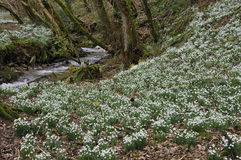Skogsmarken strömmer med Snowdrops Royaltyfria Bilder