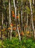 Skogsmarkfärgstänk av apelsinen Royaltyfri Bild